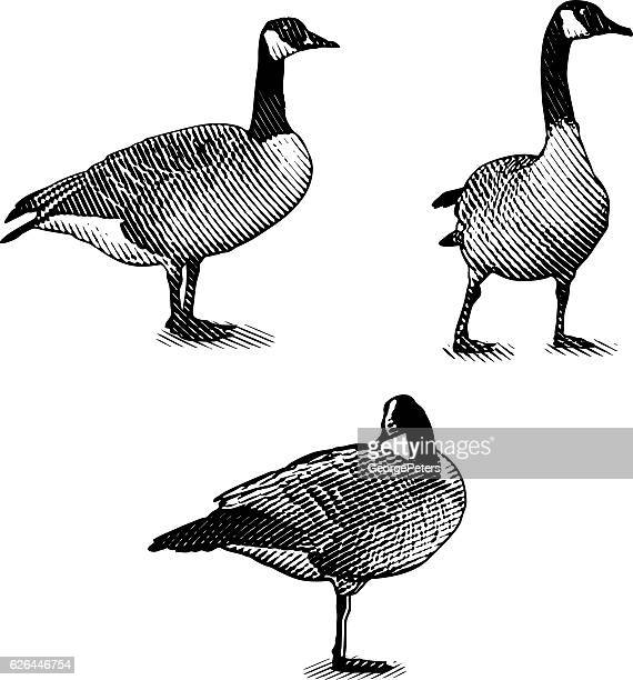 Scratchboard style Illustrations of Canada Geese