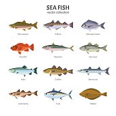 Vector illustration of different types of saltwater fish, such as Pink salmon, Pollock, Gilt-head bream, Rockfish, Mackerel, Sea bass, Keta, Codfish. Isolated on white.