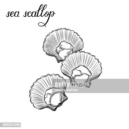 Sea scallop. Seafood. : Vector Art