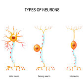 types of neurons: sensory and motor neurons, and interneuron. Humans nervous system. Vector diagram for educational, biological, medical and science use