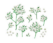 Set collection of gypsophila flowers in watercolor style isolated on white background. Art vector illustration.