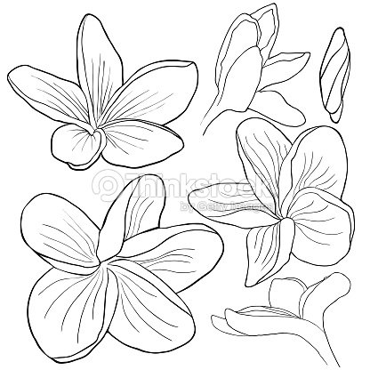 Coloriage Fleur Hawai.Set Coloriage Fleur De Plumeria Hawaien Espece Exotique Illustration
