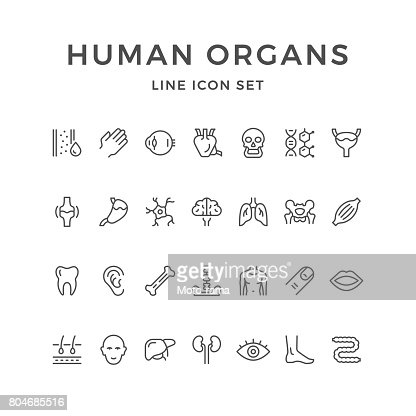 Set line icons of human organs : stock vector