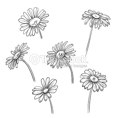 De Manzanilla Flores Monocromos Blanco Y Negro Dibujo Botanico