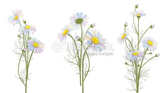 Conjunto De Ramos De Flores De Manzanilla Flores Blancas Brotes