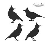 Vector illustration: Set of four Silhouette of Crested Lark. Little birds on white background