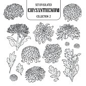 Set of isolated chrysanthemum collection 2. Cute flower illustration in hand drawn style. Presented in black outline and white plane on white background.