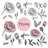 Set of peony flowers, bud, leaves, hand drawn sketch style vector illustration on white background. Vector illustration