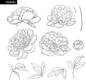 Set of peony flowers contour elements. Botanical illustration. Collection of peonies on a white background. Vector illustration bundle.