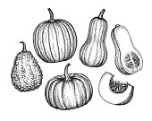 Collection of pumpkins. Ink sketch of butternut squash isolated on white background. Hand drawn vector illustration. Retro style.