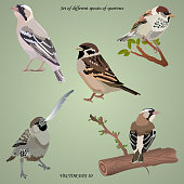 Set of realistic different species of sparrows on  branches, isolated. Each object is located on a separate layer