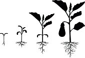 Vector illustrations of Set of silhouettes of eggplant plants at different stages