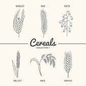 Barley, rye, oats, millet, rice and wheat in vintage style. Contour drawing vector illustration