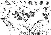 Vector Silhouettes of various African Acacia branches with leaves and thorns