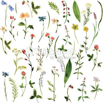 Ensemble daquarelle dessin de plantes et de fleurs clipart for Plantes belgique