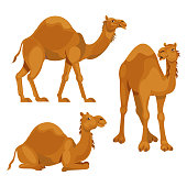 Set three camels in different poses. Isolated on white background. Vector illustration.