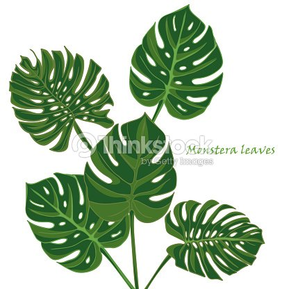 tropical monstera juego de hojas aislada sobre fondo blanco arte vectorial thinkstock. Black Bedroom Furniture Sets. Home Design Ideas