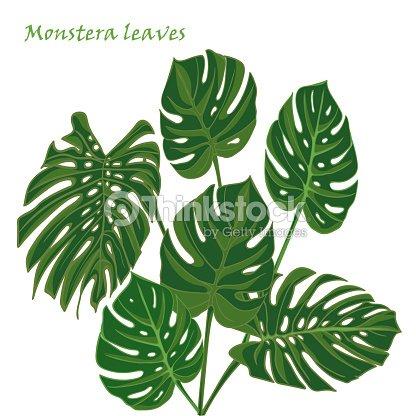 Feuilles De Monstera Tropical Set Dessin Realiste Dans Un Style Plat
