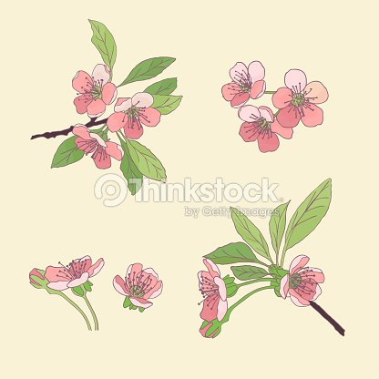 Setcherry blossoms blooming cherry spring flowers drawing vector blooming cherry spring flowers drawing vector illustration eps 10 mightylinksfo