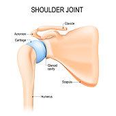 Shoulder (glenohumeral) joint. Human anatomy. Vector diagram. labeled