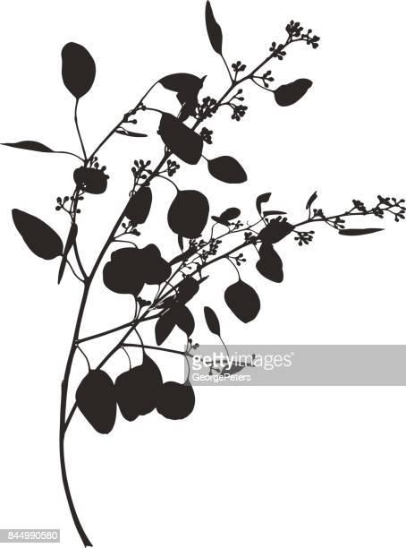 Illustrations et dessins anim s de eucalyptus getty images - Branche d eucalyptus ...