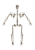 A human skeleton disassembled into bones for study. 3D. Front view. Vector illustration.