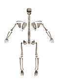 A human skeleton disassembled into bones for study. 3D. Back view. Vector illustration.