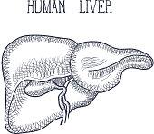 Sketch Ink Human liver, hand drawn, doodle style, Engraved Anatomical illustration. Vector illustration