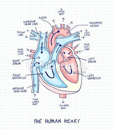 Skizze Des Menschlichen Herzens Anatomie Mit Handgeschriebenen ...
