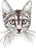 Vector drawing of the head of a little house cat.