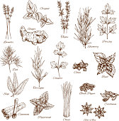 Herbs or spices sketches of lavender and oregano, thyme or rosemary and parsley. Vector seasonings dill or tarragon and cilantro. Flavoring basil or sage, cinnamon and peppermint, anise and cardamom
