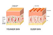 Visual representation of skin changes over a lifetime. Collagen and elastin form the structure of the dermis making it tight and plump. Fibroblasts synthesize collagen and elastin. difference between