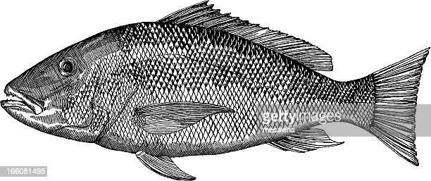 Snapper Fish Drawing