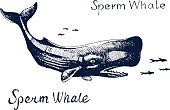 Sperm whale, the animal on the hunt for fish. Hand drawn vector illustration. Sketch text.