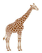 Spotted giraffe on a white background