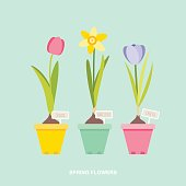 Vector illustration of spring flower bulbs, tulip, daffodil, crocus in flower pots with botanical signs.