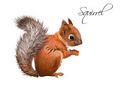 Vector realistic illustration of little cute squirrel isolated on white background. Winter design element for christmas, new year,sweets packaging. Can be used for greeting card, poster, web page