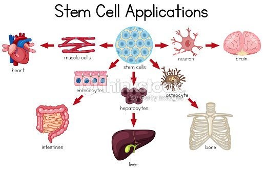 Stem Cell Anwendungen Diagramm Vektorgrafik | Thinkstock