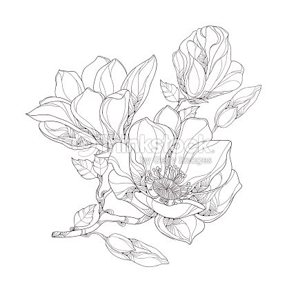Stem With Magnolia Flower Buds And Leaves Isolated On White Stock