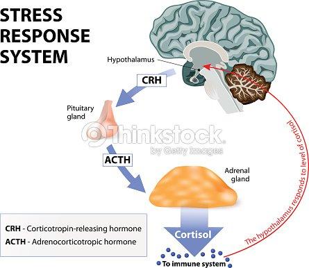 Stressantwortsystem Vektorgrafik - Thinkstock