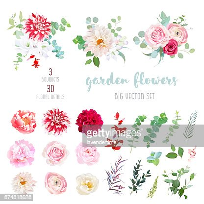 Striped, creamy and burgundy red dahlia, pink ranunculus, rose, : Vector Art