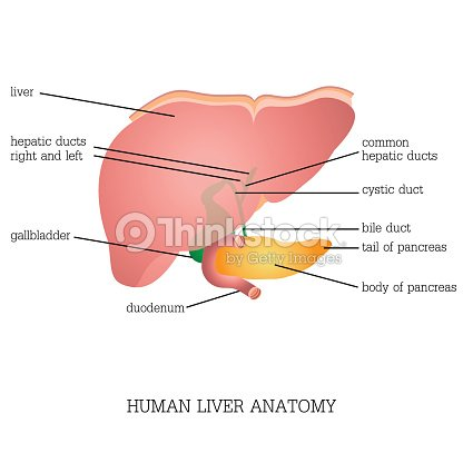 Structure And Function Of Human Liver Anatomy Vector Art Thinkstock