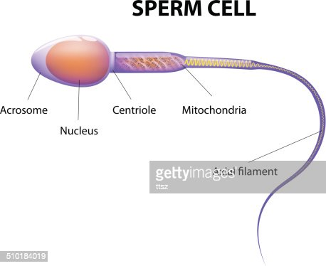 cell picture sperm