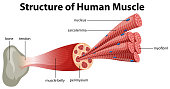 A Structure of Human Muscle illustration
