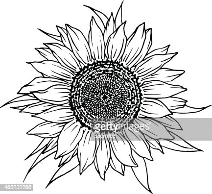 Sunflower Vector Art | Getty Images