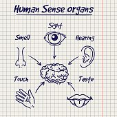 Synopsis of human sense organs on notebook page background. Vector illustration