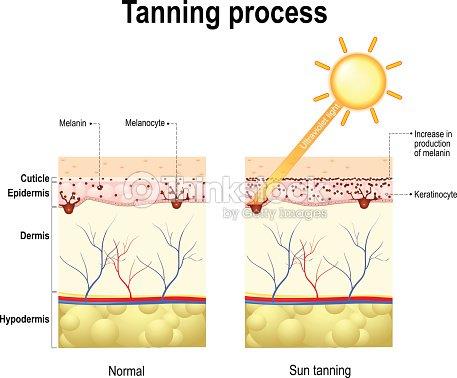 Tanning Process Skin Human Anatomy Vector Art Thinkstock