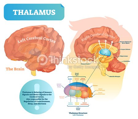 Thalamus Vector Illustration Labeled Medical Diagram With Brain