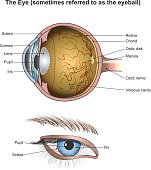 Eyes are the organs of vision. They detect light and convert it into electro-chemical impulses in neurons. In higher organisms, the eye is a complex optical system which collects light from the surrou