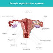 The female reproductive system (or female genital system) contains two main parts the uterus, which hosts the developing fetus, produces vaginal and uterine secretions. Illustration anatomy body.